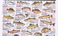 Fishermans-Freshwater-Fish-Chart-8-9.jpg